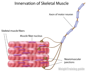 Skeletal muscle motor unit