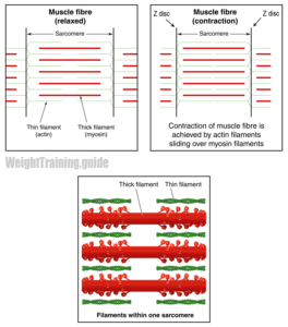 Sarcomere and muscle fiber contraction