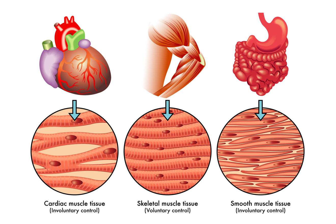 Cardiac, smooth and skeletal muscle structure
