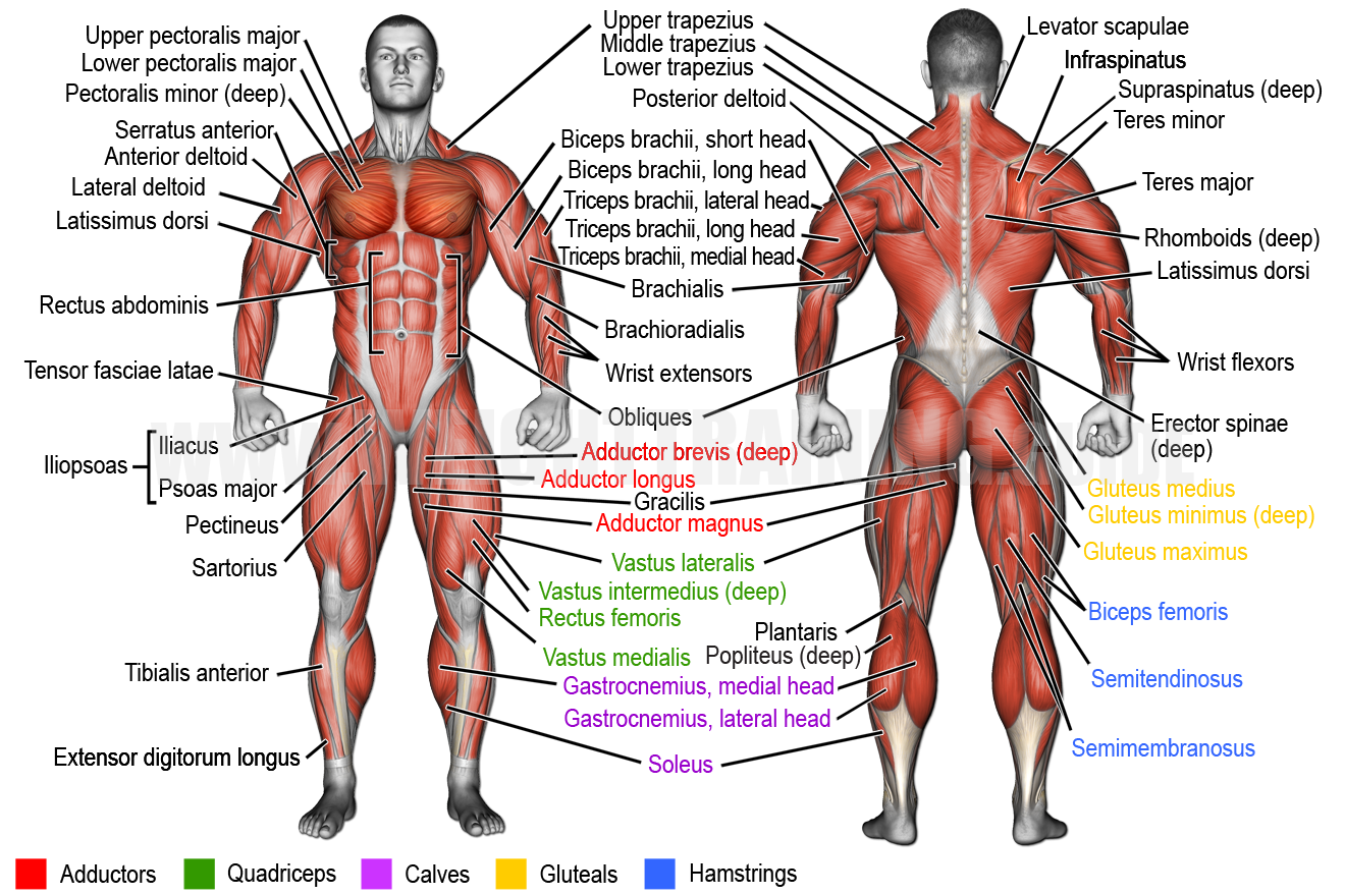 Superficial muscles of the human body