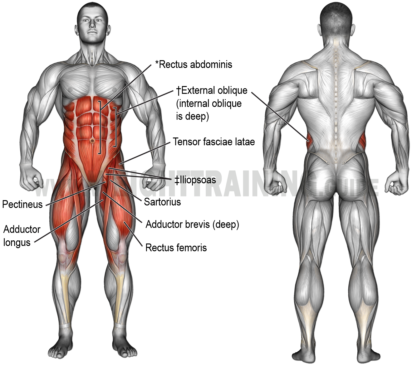 Muscles activated by hip-flexion and hip-and-waist-flexion exercises