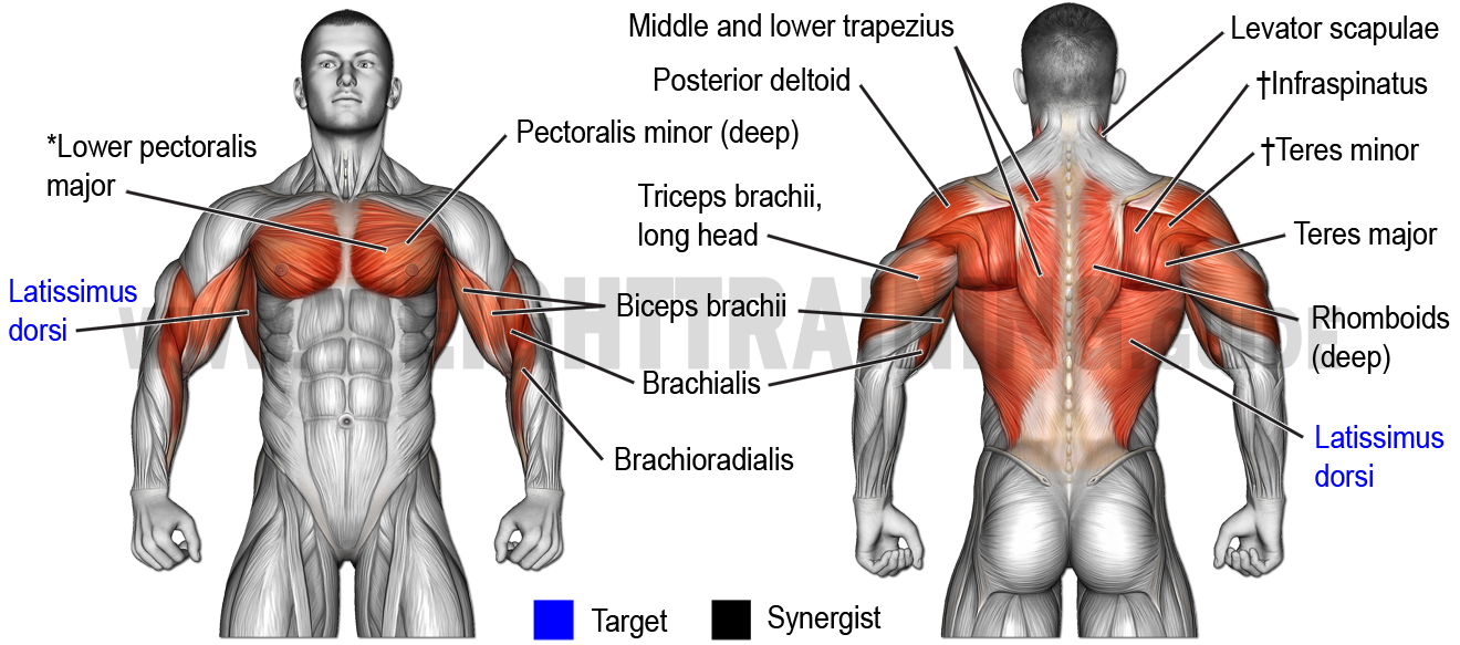Muscles activated by vertical pulling exercises